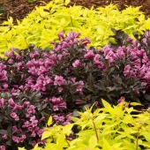 Weigela-florida-Dark-Horse
